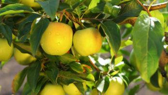 Gezonde appelboompjes